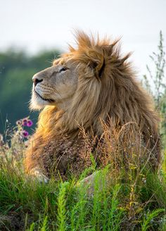 Drawn todies lion Beauty Pinterest Discover His of
