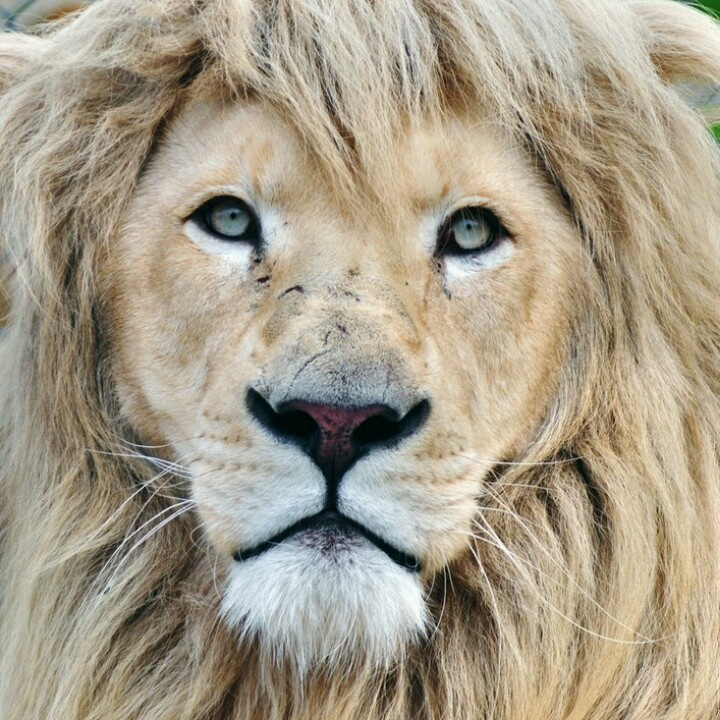 Drawn todies lion About Pinterest lion beautiful The