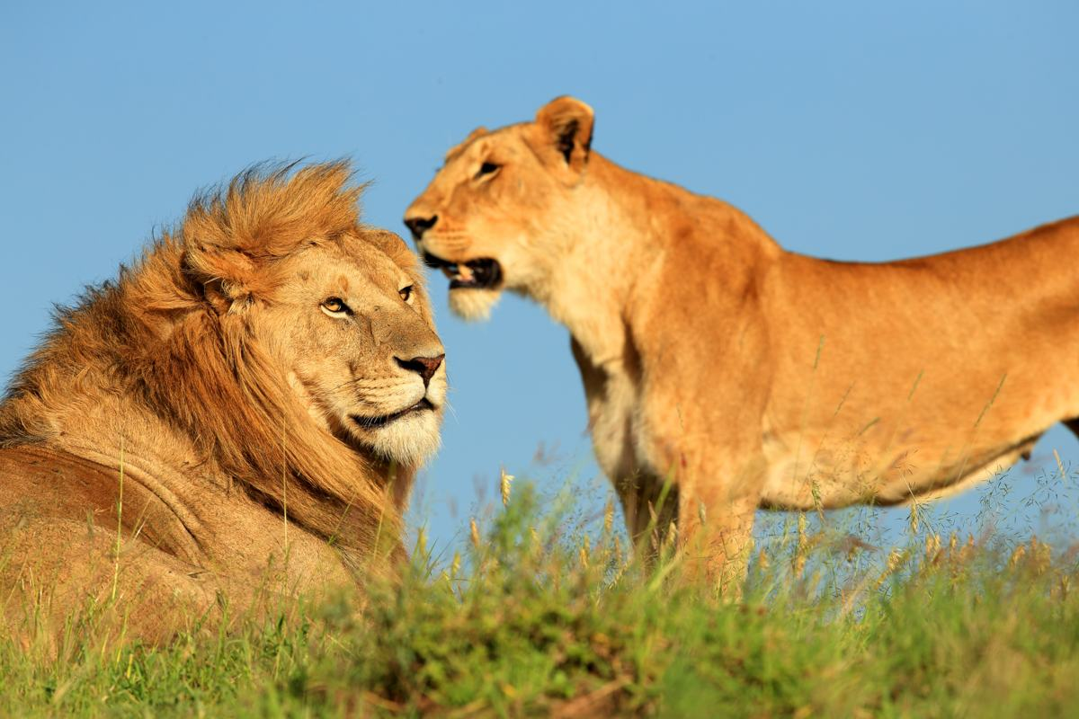Drawn todies lion List and Birds African of