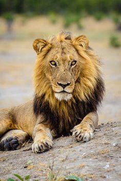 Drawn todies lion On (1280×1602) Animals Staring 500px