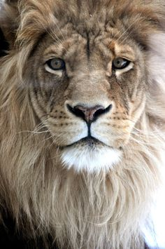 Drawn todies lion Catalog lion of Pinterest The