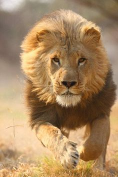 Drawn todies lion Guides You Animals catalog Enjoy