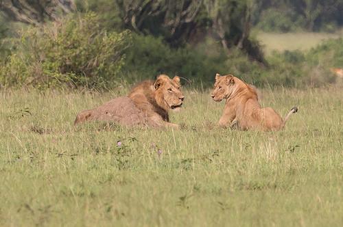 Drawn todies lion January African 2017 Lion Birding