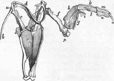 Drawn todies muscular body Bird Fig Study : Wing