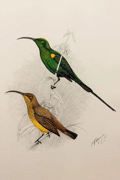 Drawn todies printable Torquilla 1849 Hoopoe (1980s) Bird