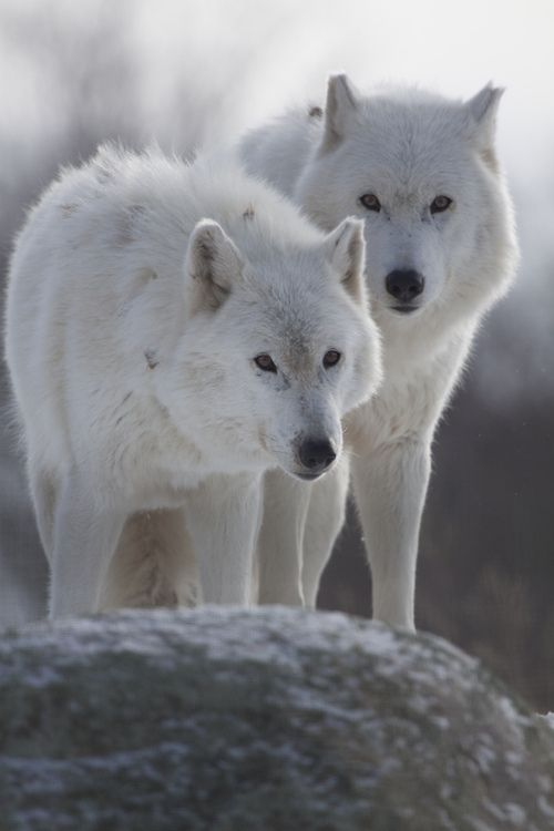 Drawn todies wolf Best Wolves images Arctic Wolves