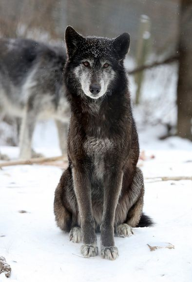 Drawn todies wolf Wolf Wolf Sanctuary 104 Therian