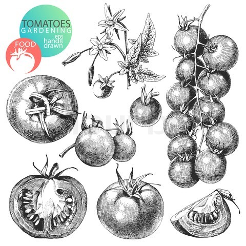 Drawn tomato Tomatoes tomatoes drawing Plant drawing