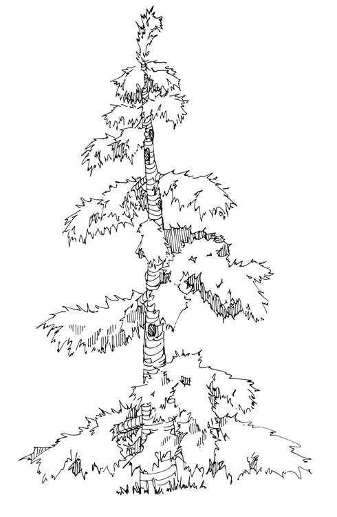 Drawn pine tree huge Coniferous large attractiveness Magpies tree