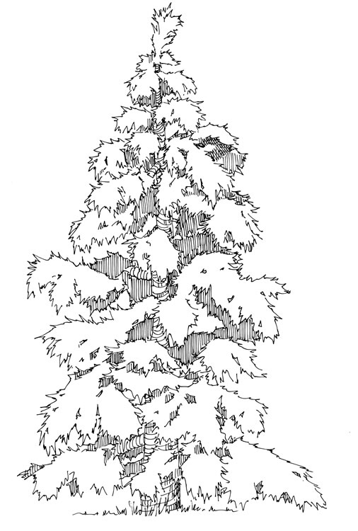 Drawn pine tree huge Coniferous large Living tree Magpies