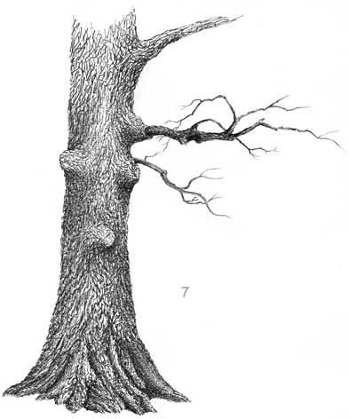 Drawn tree detailed Pen  to ink to