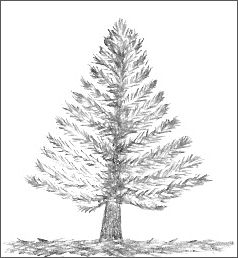 Drawn fir tree easy Evergreen Tree Drawings Easy Trees