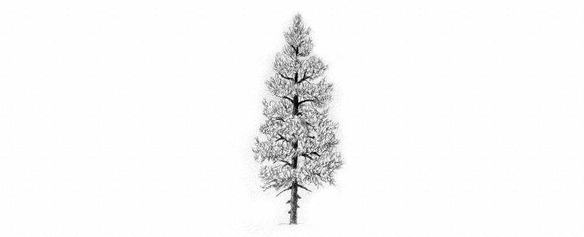 Drawn fir tree line drawing Trees Draw texture to tree