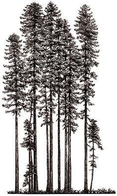 Drawn tree forest tree Silouhets Tree growth Mountain Redwood