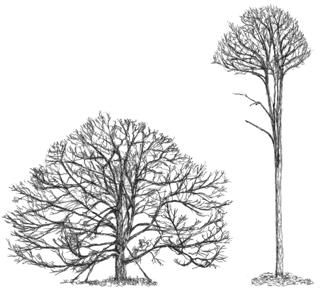 Drawn tree forest tree On specimen is tall The