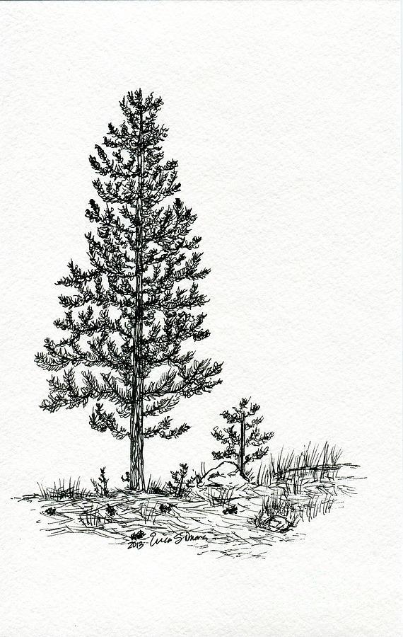 Pine Tree clipart fine  Tree Pine