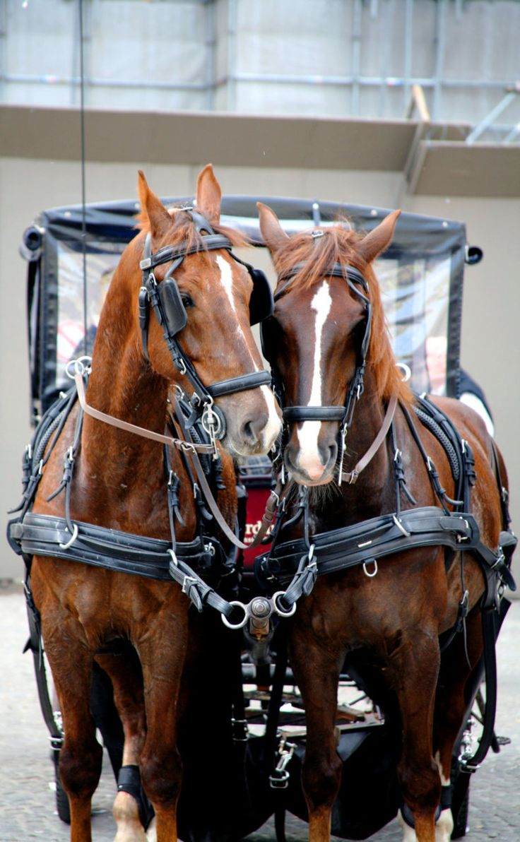 Drawn trolley friesian horse PULLS yes DRIVING  horse