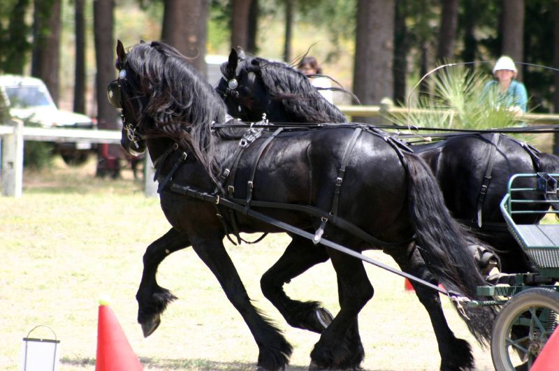 Drawn trolley friesian stallion Horse Michele Friesian Friesian Breed