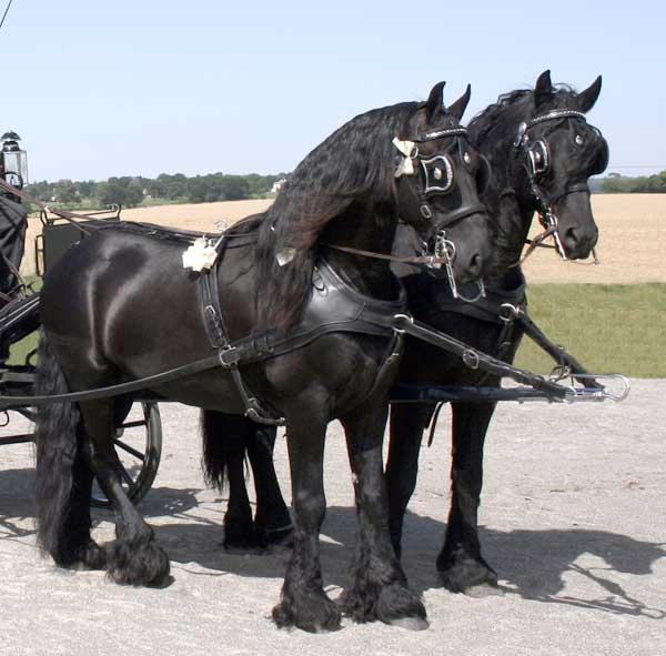 Drawn trolley friesian stallion And Fabulous Friesian Horse Carriage