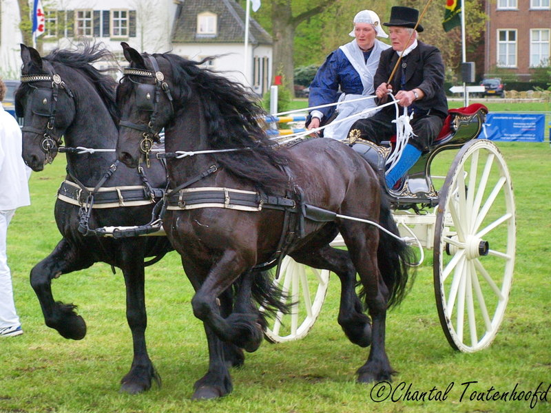 Drawn trolley friesian stallion Friesians by  Horses: Friesian