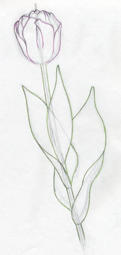 Drawn tulip  tulip Steps Draw FLOWERS