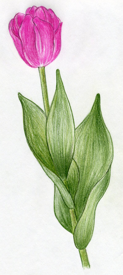 Drawn tulip Click Easy enlarge to the