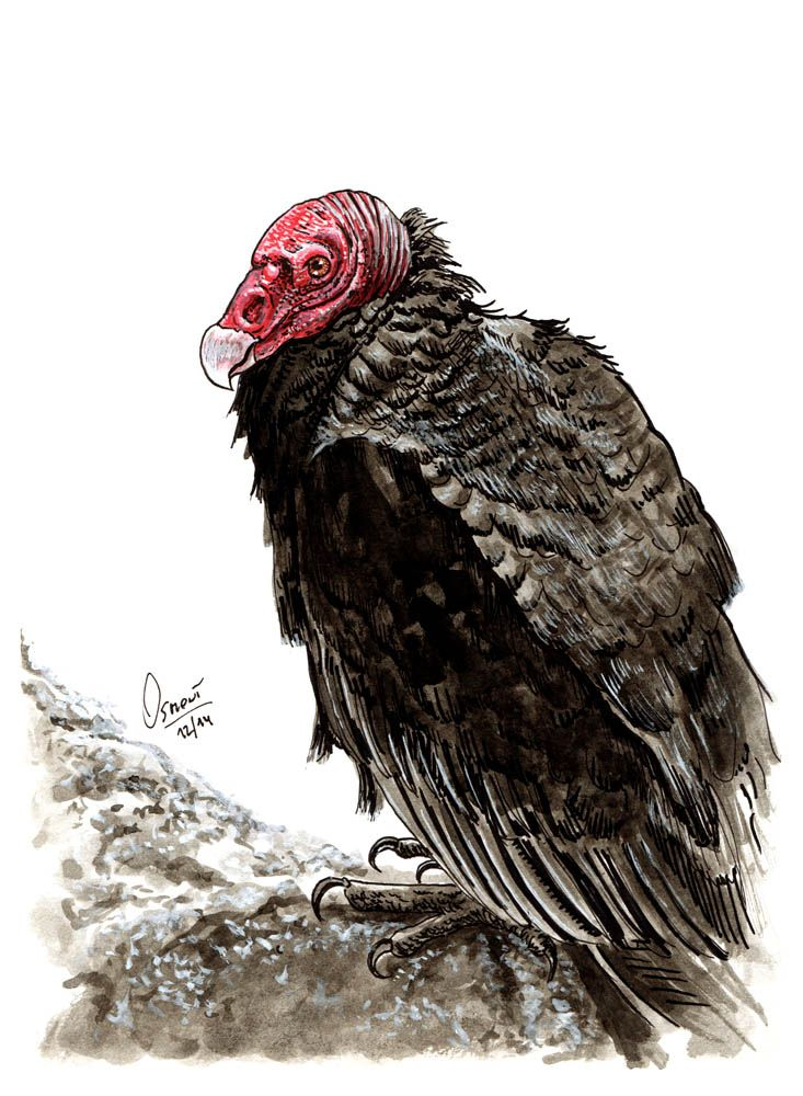 Drawn turkey vulture #13