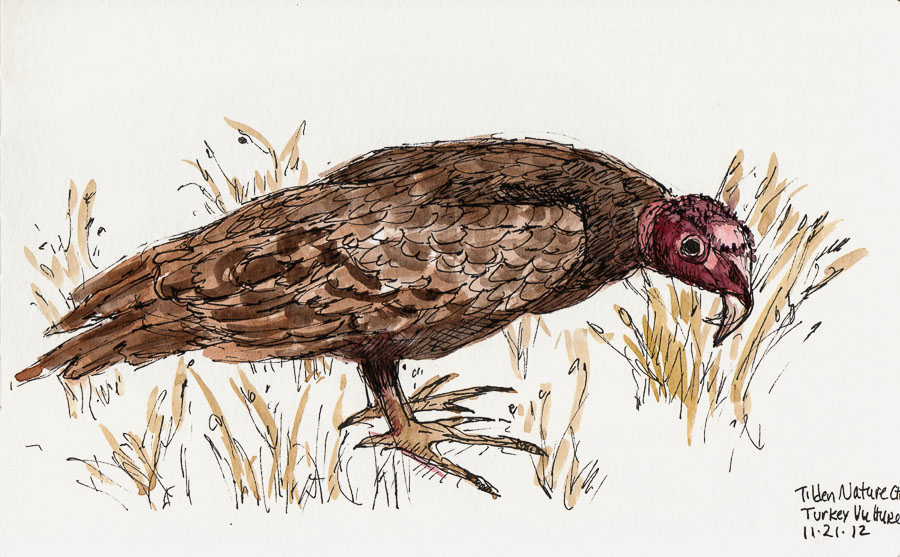 Drawn turkey vulture #7