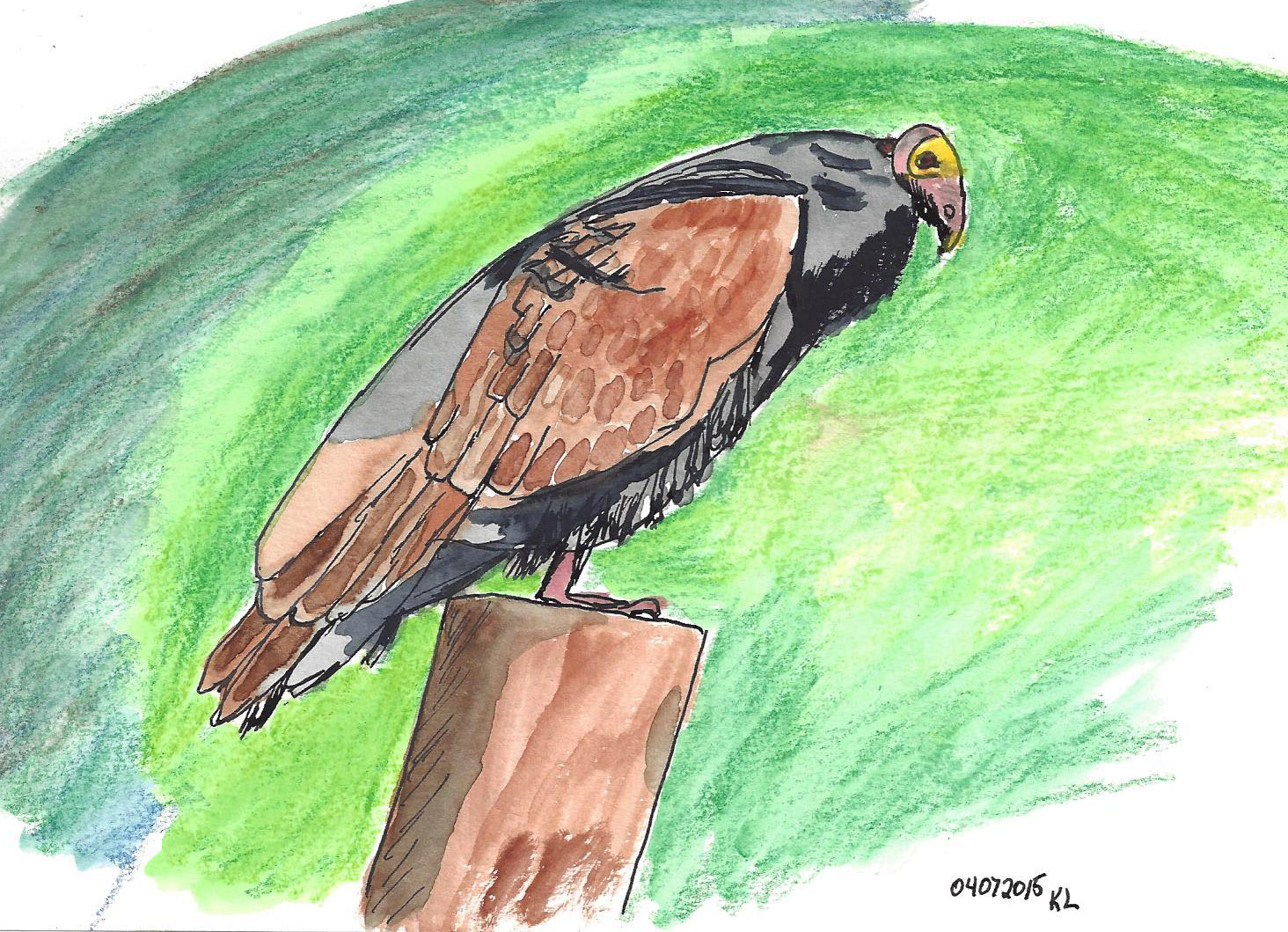 Drawn turkey vulture #9