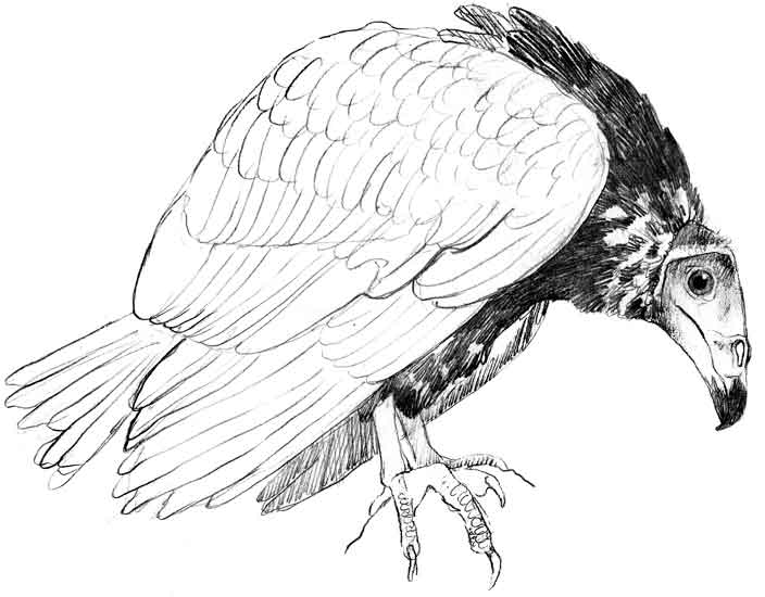 Drawn turkey vulture #6