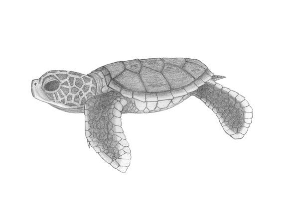 Drawn pencil turtle Turtles best Turtle Baby by