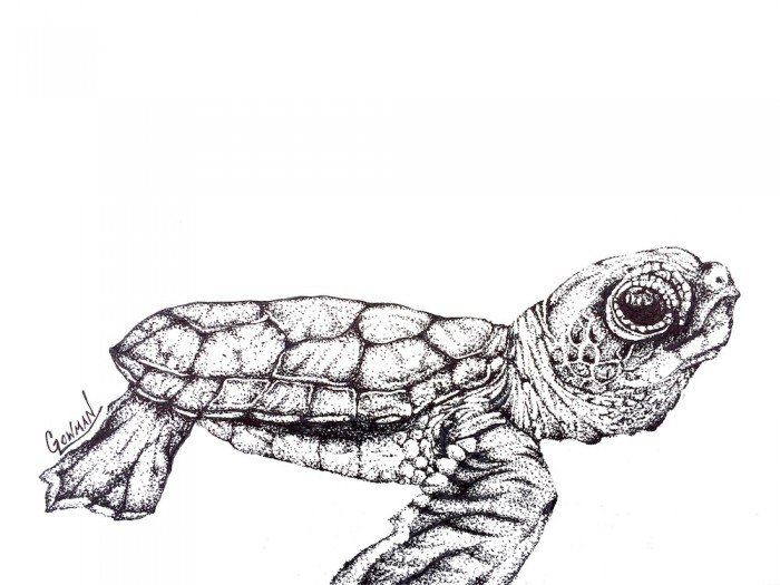 Drawn sea turtle pen and ink Green – baby Lowman turtle