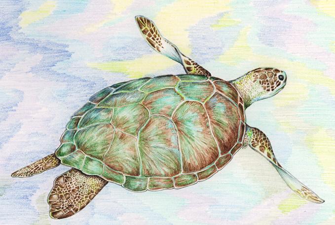 Drawn sea turtle graphite pencil (color Sea artist turtle pencil)