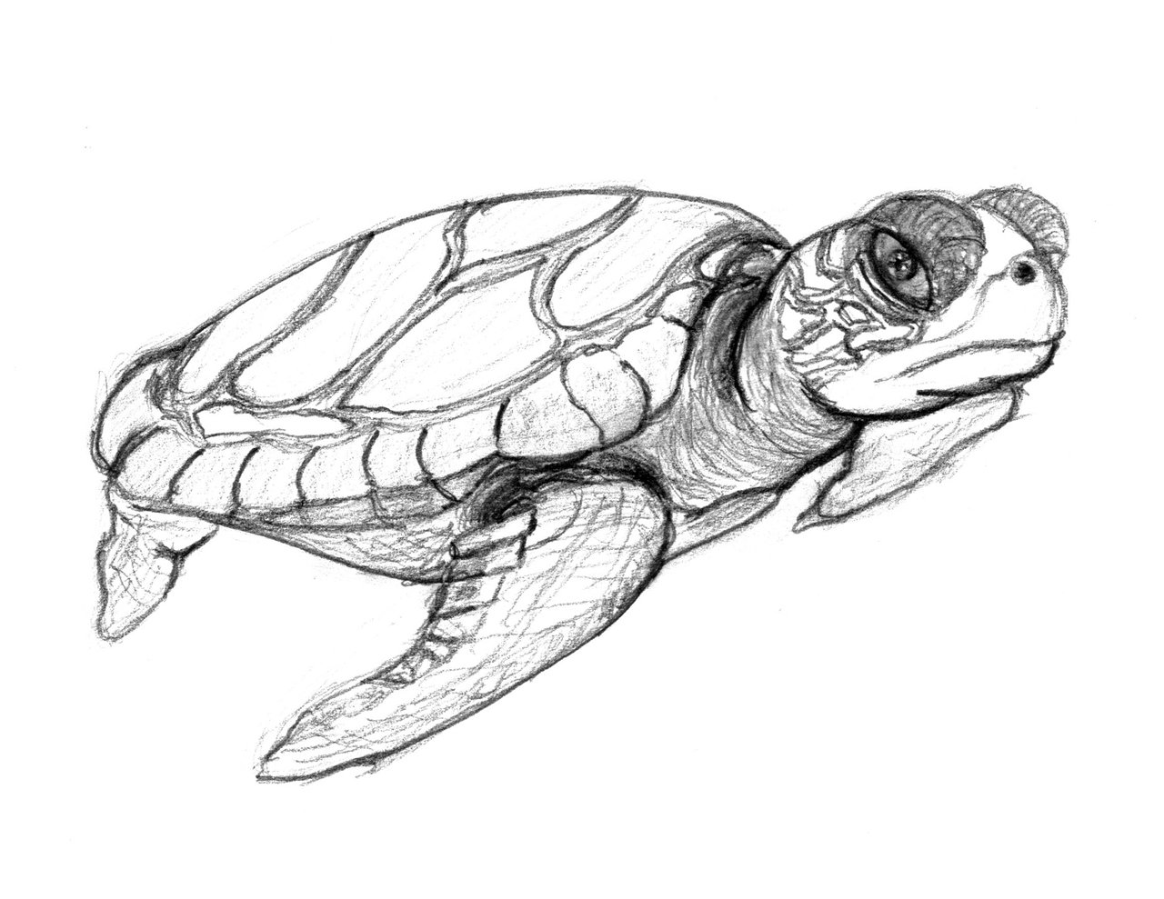 Drawn sea turtle line drawing Printable For Turtle Coloring For