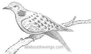 Drawn turtle dove #7