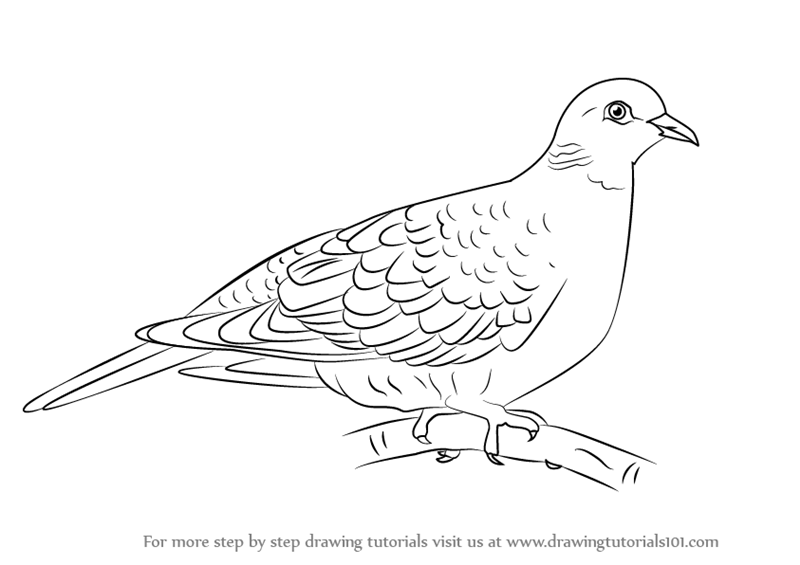 Drawn turtle dove #6