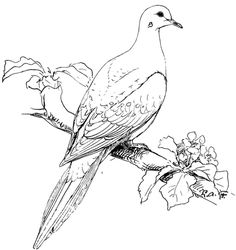 Mourning Dove clipart background 21274… coloring Cardinal Perched Dove