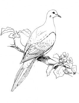 Mourning Dove clipart confirmation Real Perched sketches 20+ Dove