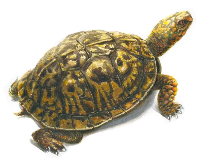 Drawn sea turtle box turtle  Leach Eastern Andrew Box