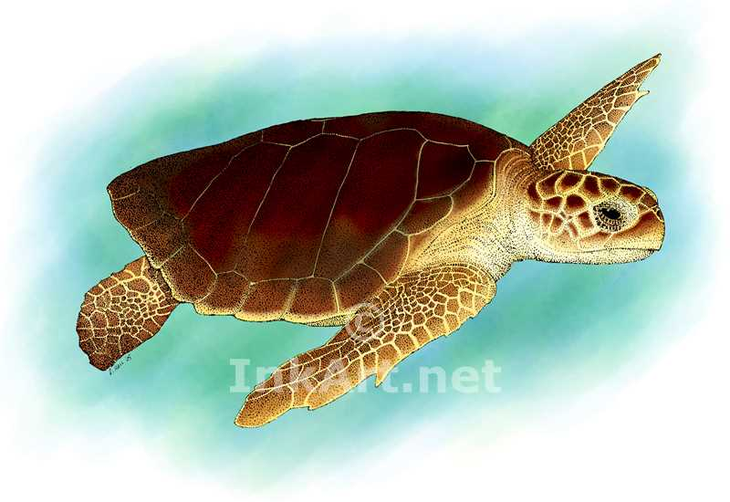 Drawn sea turtle loggerhead turtle Illustration loggerhead Art art turtle