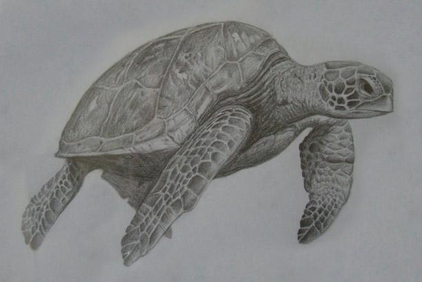 Drawn sea turtle graphite pencil Pencil Sea Pat Portfolio Turtle