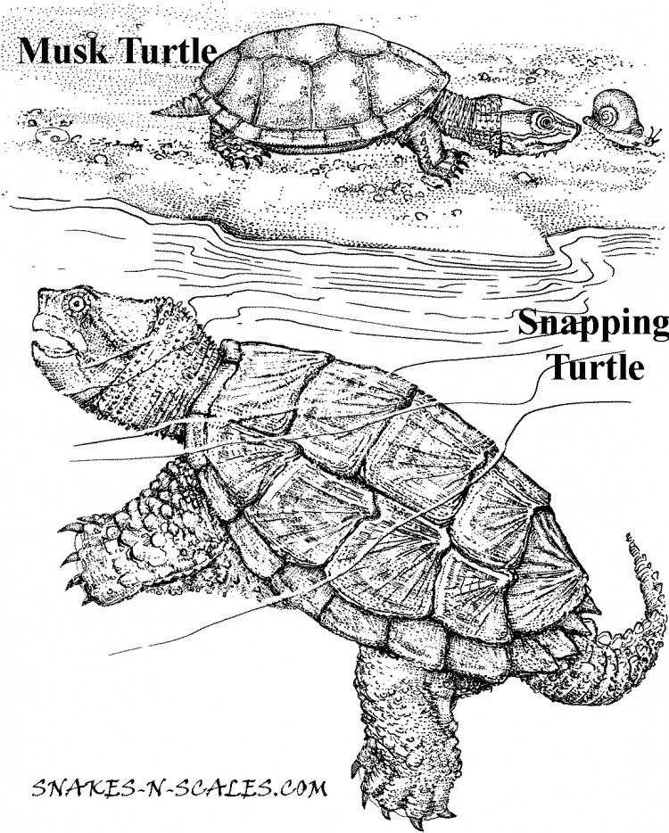 Drawn sea turtle snapping turtle Page – Scales N Turtle