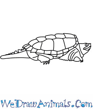 Drawn sea turtle snapping turtle Snapping to Alligator Draw