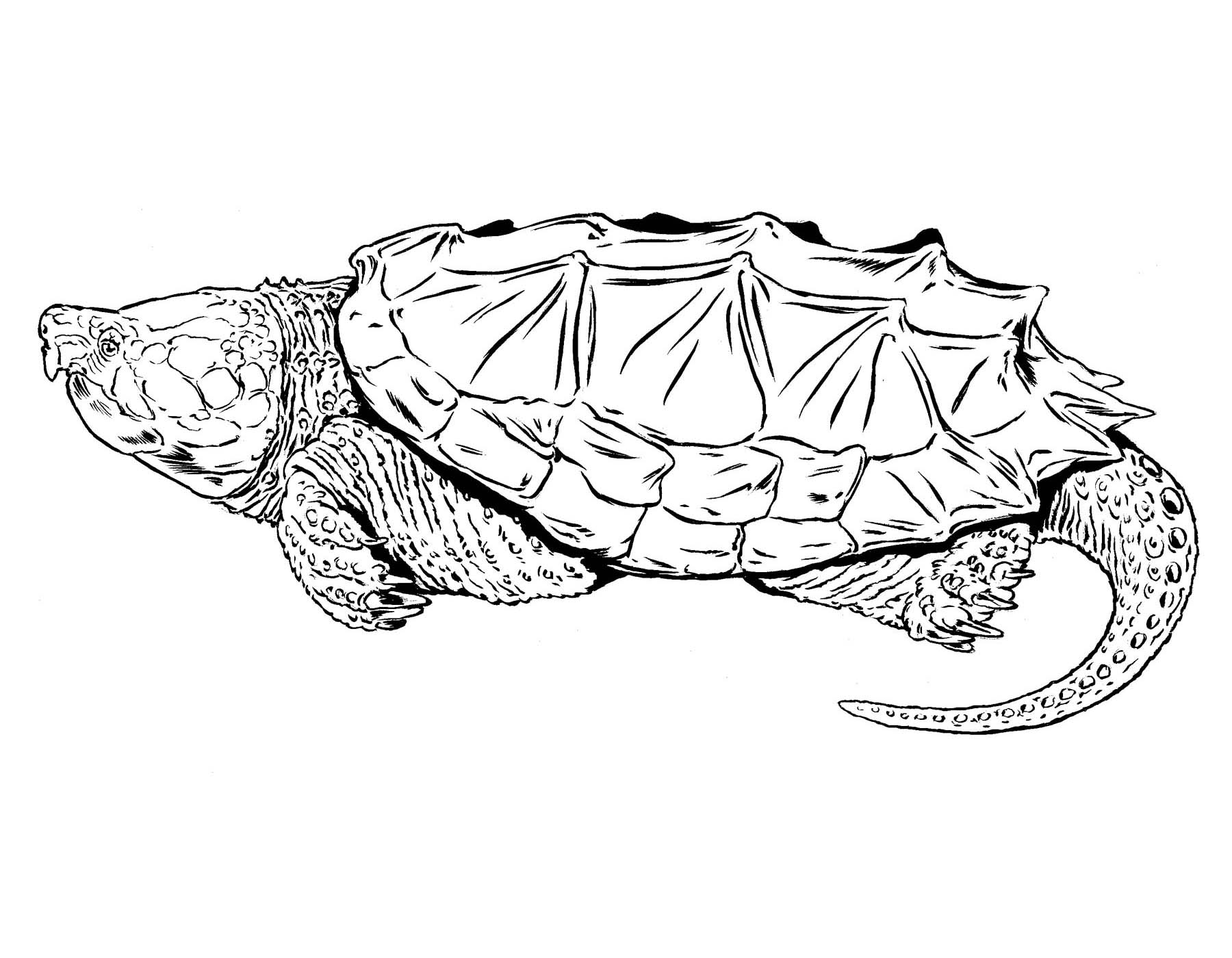 Drawn sea turtle snapping turtle Turtle Turtle Missouri of Snapping