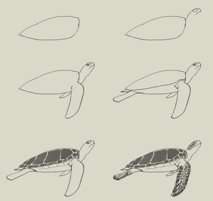 Drawn sea turtle step by step Draw (700×662) More turtle how