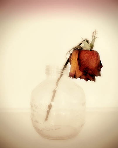 Drawn vase red rose Dead wilted Red dead russet