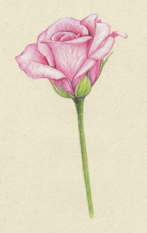 Drawn vase rose Rose don't of flowers pink