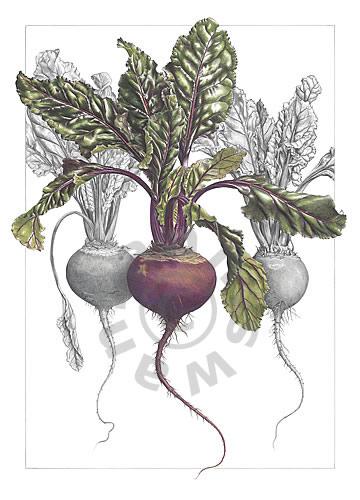 Drawn vegetables beet Trio Colored Swan Ann Beetroot