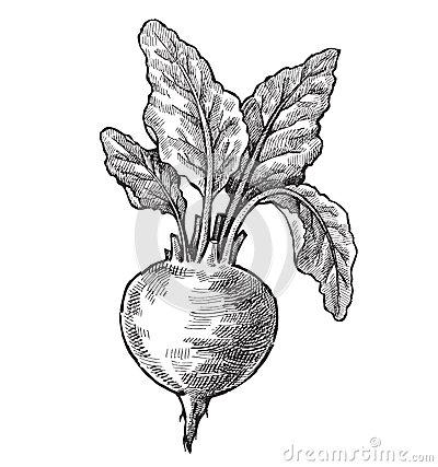 Drawn vegetables beet Hand drawn Beet vector Vintage