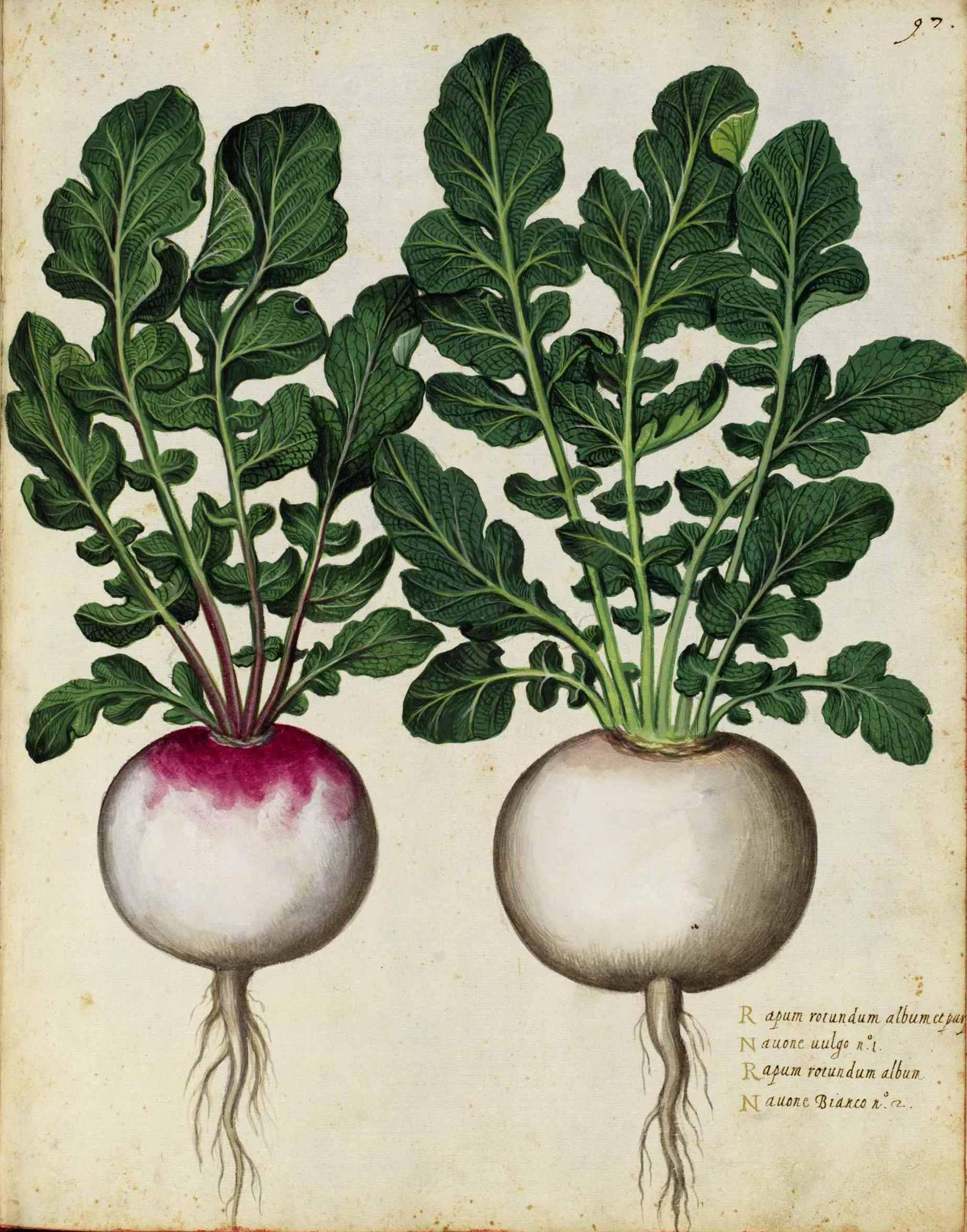 Drawn vegetable botanical illustration Fazendo Botanical deparo textos Nas